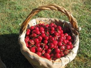 ciliegie-cesto